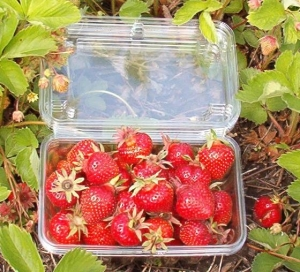 Luscious Earliglow Strawberries